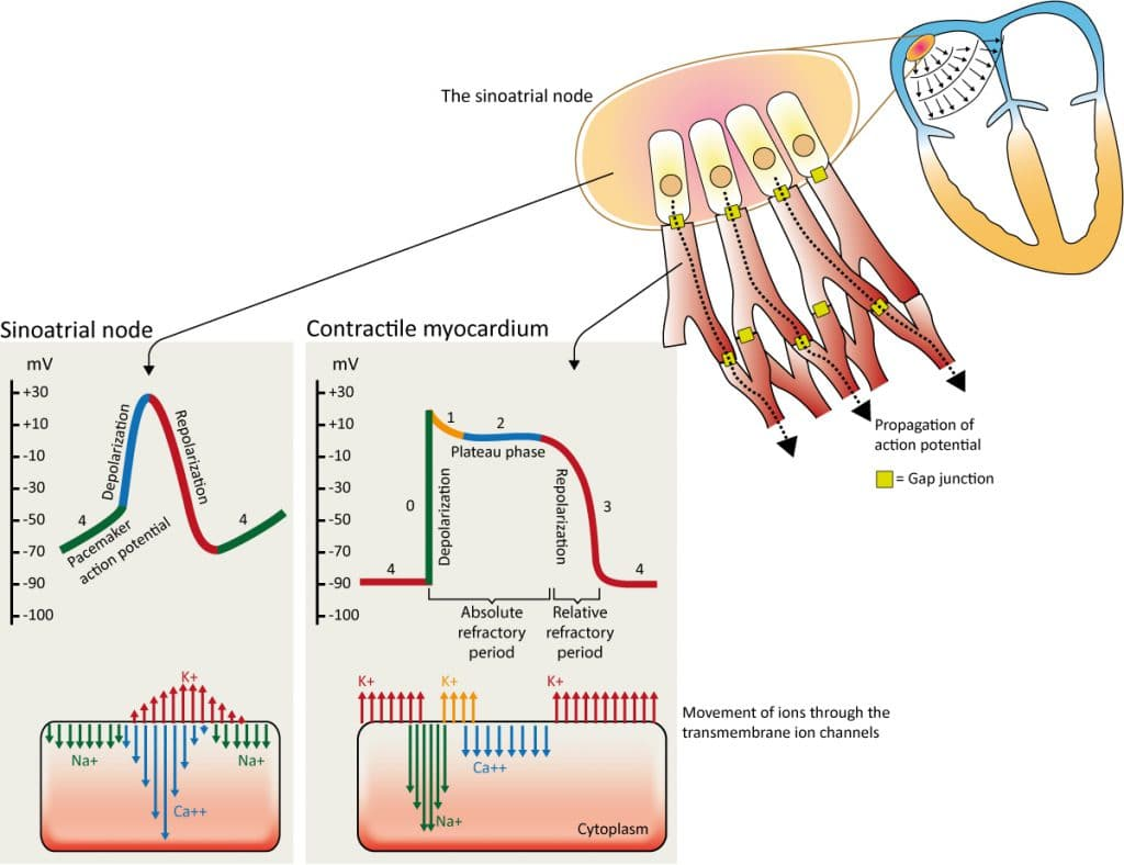 Figure 7. The action potential in the sinoatrial node and in contractile myocardial cells. Phase 4 of the action potential in the sinoatrial node is called 'pacemaker potential', because it is responsible for the spontaneous repetitive depolarization.