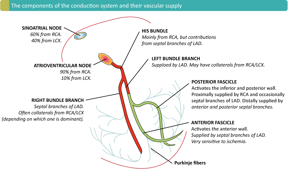 Figure 2. The arterial supply of the conduction system. As seen, the sinoatrial node is supplied by the right coronary artery in 60% of individuals, and by the left circumflex artery in the remainder. The atrioventricular node is supplied by the right coronary artery in 90% (right dominant system) of individuals, whereas the in the remaining 10% the supply comes from the left circumflex artery (left dominant system).