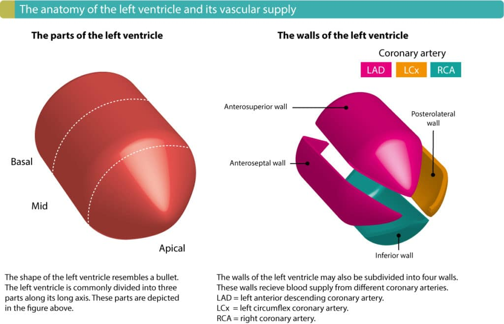 Figure 3. The walls of the left ventricle and the ECG leads reflecting these walls. Localization of myocardial infarction / ischemia requires knowledge of these concepts.
