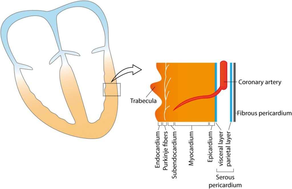 Figure 5. Schematic figure of the ventricular wall. Note that the term myocardium is often used to refer to all layers.