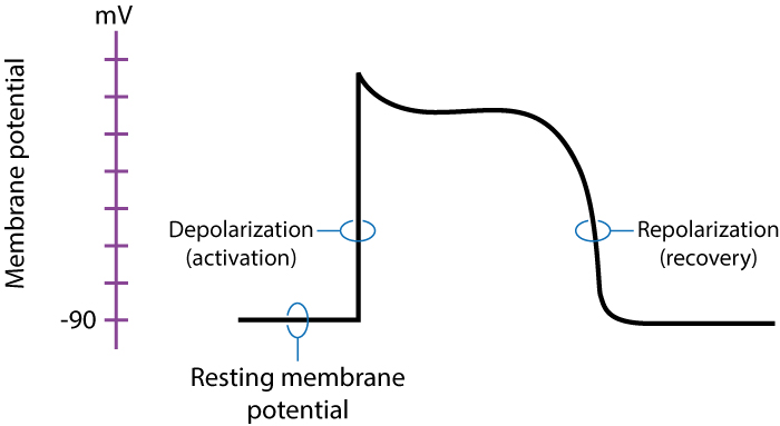 Figure 3. The action potential of contractile cells. Inactive (resting) myocardial cells have a resting membrane potential of -90 mV. Upon stimulation, the cell depolarizes and a rapid increase in the membrane potential is noted. The cell returns to its resting state by repolarizing. These concepts are discussed in detail in the next article.