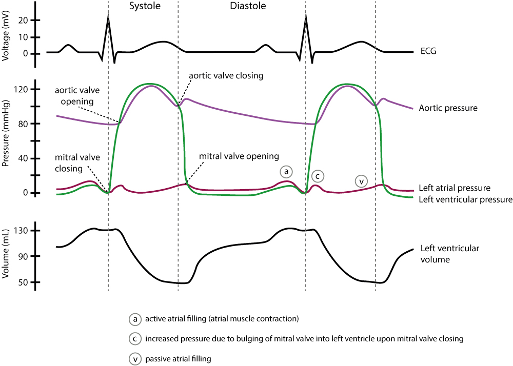 Figure 6. A Wiggers diagram is a standard diagram used in cardiac physiology to illustrate the association between aortic pressure, ventricular pressure, atrial pressure, volumes and ECG waveforms.