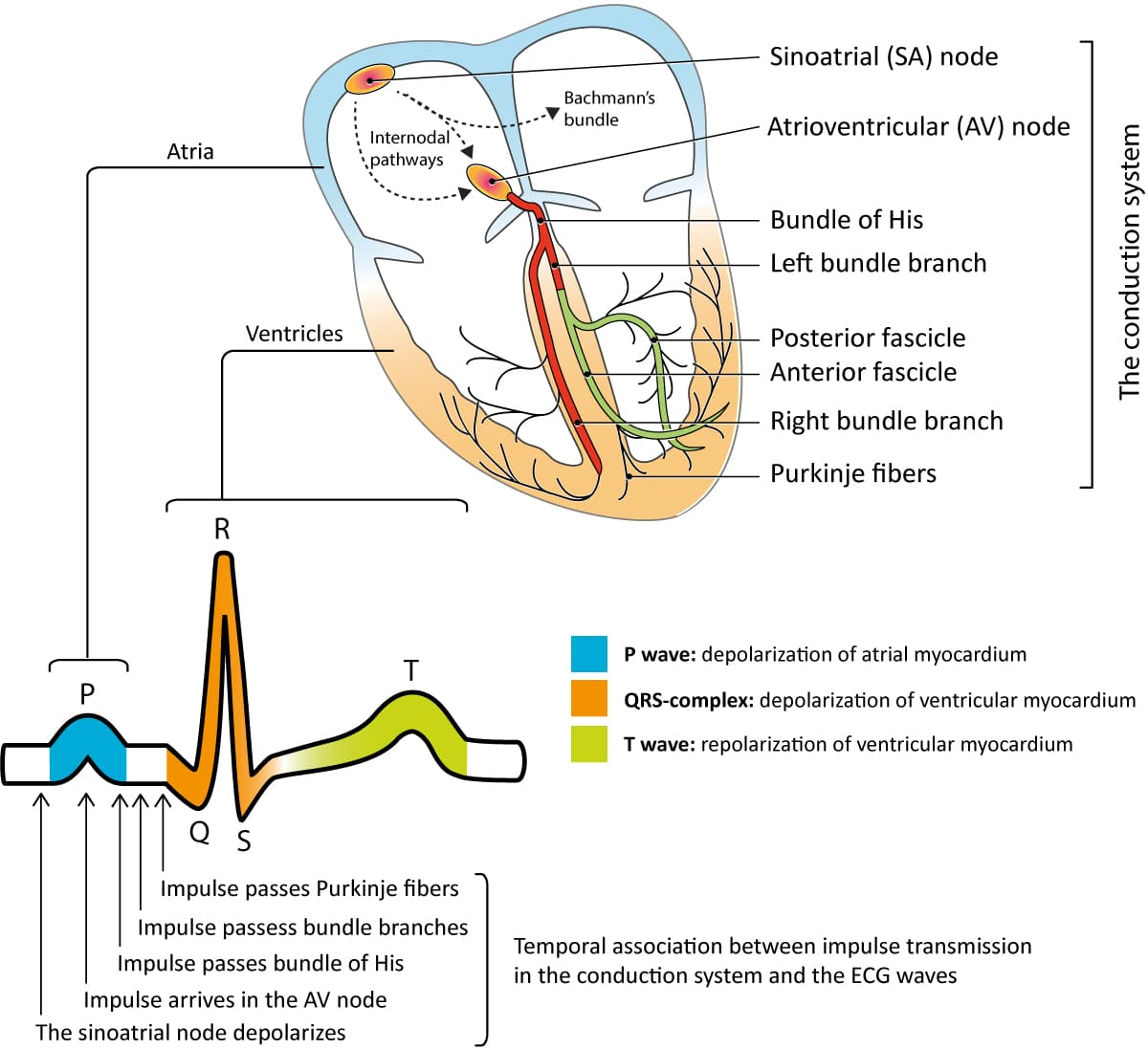 Figure 1. The cardiac cycle starts when cells in the sinoatrial node discharges an action potential that spreads as an electrical impulse through the atria and – via the atrioventricular node – to the ventricles. As the impulse spreads through the myocardium, it activates the cells which respond by contracting. The action potential generates electrical currents which gives rise to the classical ECG waveforms presented here. Activation of the atria is reflected as the P-wave and activation of the ventricles results in the QRS complex. The T-wave reflects the recovery (repolarization) of the ventricles. Note that the ECG rarely shows atrial recovery (repolarization) since it coincides with ventricular depolarization (i.e QRS complex), which has much stronger electrical potentials.
