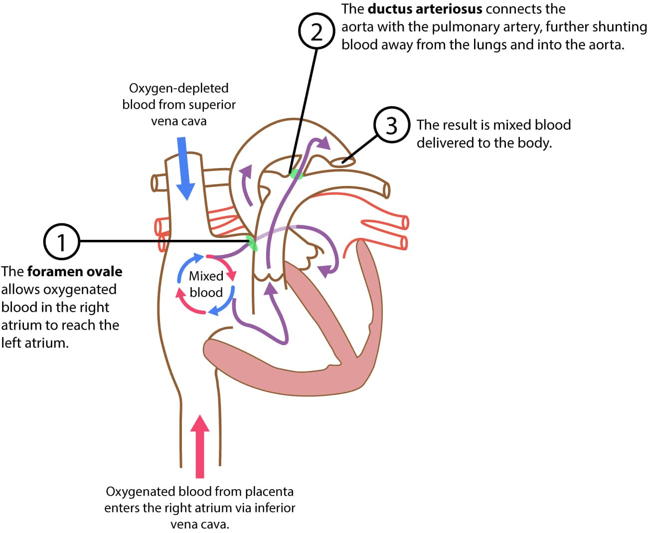 Figure 2. The fetal circulation.