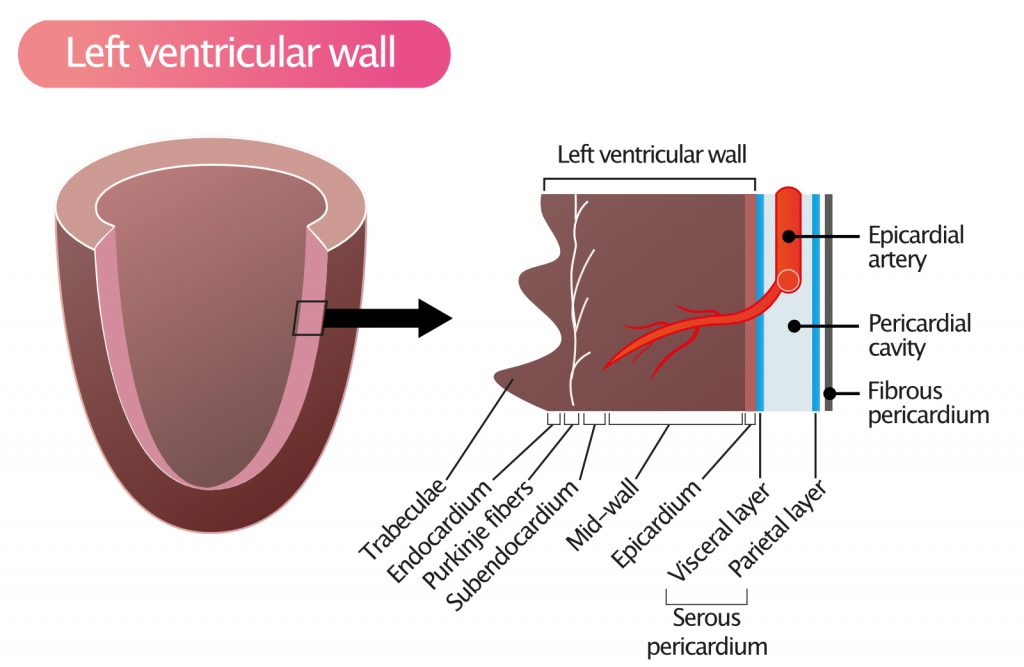 Figure 1. Layers of the left ventricular wall, pericardium and ventricular cavity.
