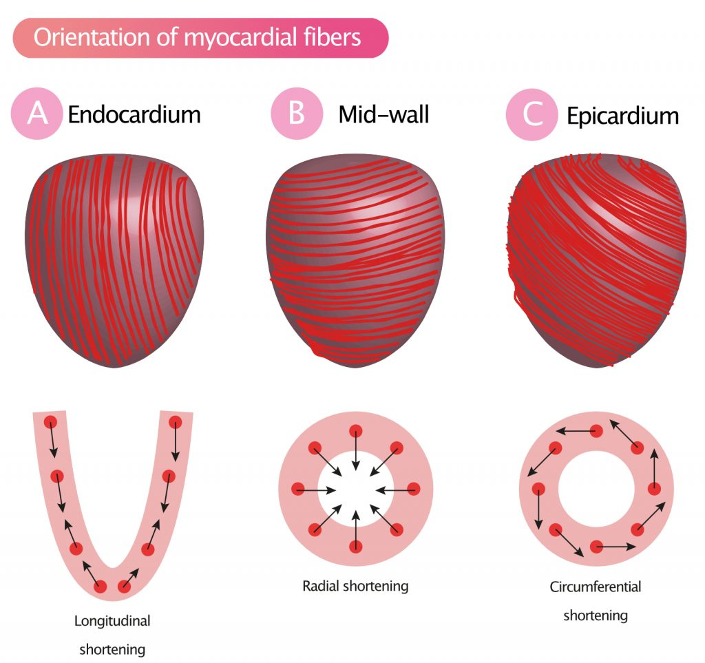 Figure 2A-2C. Orientation of myocardial muscle fibers result in longitudinal, radial and circumferential shortening (contraction).